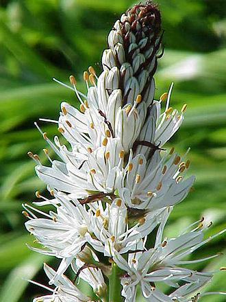 Asphodelus - White asphodel (Asphodelus albus)