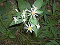 Aster divaricatus (homeredwardprice) 001.jpg