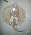 Asterotrygon maloneyi.jpg