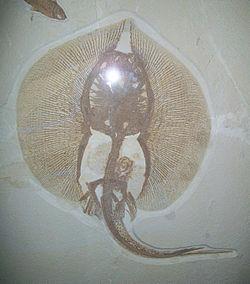 Deepwater stingray