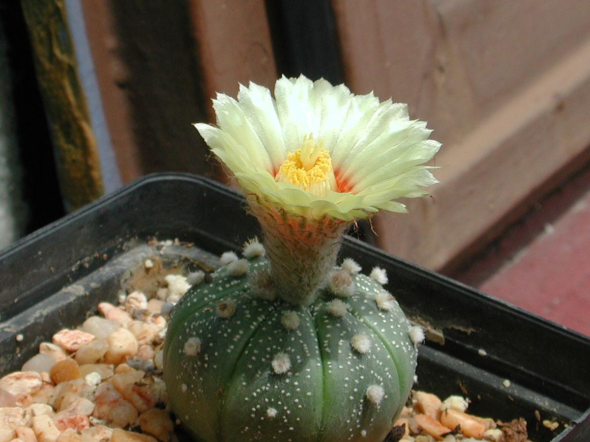 Archivo:Astrophytum-asterias.jpg - Wikipedia, la enciclopedia libre