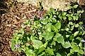 Asystasia gangetica micrantha 2zz.jpg
