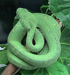 Description de l'image Atheris chlorechis.jpg.