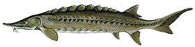 Atlantic sturgeon.jpg