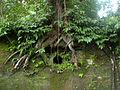 Auf den Mauern des Gefängnisses von Gorgona gewachsener Baum.JPG