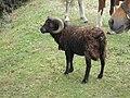 Bélier (Rams) (5).jpg