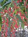 BCBG Berries 01.JPG