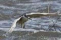BDT1940 .black crowned heron.jpg
