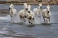 BH5U1106 chevaux de Camargue dans les marais près des Saintes Maries de la Mer.jpg