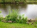 Baby Geese, Powderhorn Lake (8950605626).jpg
