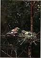 Baby birds at home (1912) (14564972807).jpg