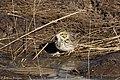 Baird's Sparrow Curly Horse Ranch Rd Sonoita AZ 2018-01-26 10-04-54-2 (39038398635).jpg
