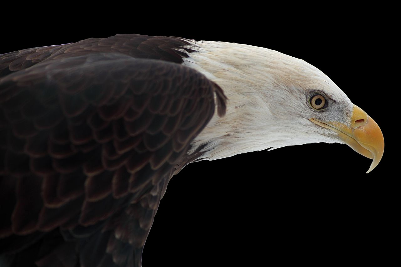 Bald Eagle White On Black