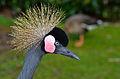 Balearica pavonina (Schwarzer Kronenkranich - Black Crowned Crane) - Weltvogelpark Walsrode 2012-04-120426 0213.jpg