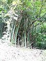 Bambusa vulgaris Schrad. ex J.C.Wendl. - La Lagunita 2013 003.jpg