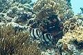 Banded butterflyfish Chaetodon striatus (2412820449).jpg