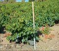Banyuls Vine on Schiste.jpg