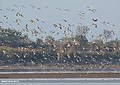 Bar-headed Goose (Anser indicus), Imperial Eagle (Aquila heliaca), Northern Pintail (Anas acuta) & Great Cormorant (Phalacrocorax carbo) (32774244330).jpg