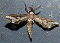 Bar Maiden Moth (Thyretes cafffra) (12932965313).jpg