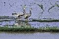 Bar headed geese കുറിത്തലയൻ വാത്തുകൾ ! 01.jpg