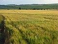 Barley, Compton - geograph.org.uk - 876621.jpg