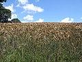 Barley field - geograph.org.uk - 498556.jpg