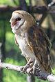 Barn Owl Beaky (16439920684).jpg