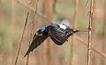 Barn swallow, Hirundo rustica, at Suikerbosrand Nature Reserve, Gauteng, South Africa (23374887335).jpg