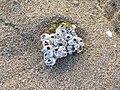 Barnacle clump (48338287982).jpg