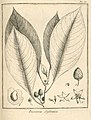 Bassovia sylvatica Aublet 1775 pl 85.jpg