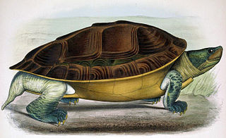 Burmese roofed turtle species of reptile