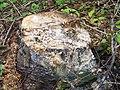 Baumstumpf mit Rotem Schleimfluss - 20100521-01.jpg