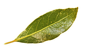 A leaf of the Bay Laurel Laurus nobilis.