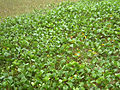 Beach Morning Glory (Ipomoea pes-caprae) at Kakinada beach 07.JPG