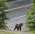 Bear leaving Home 109.jpg
