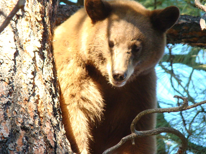 File:Bear on MtTaylor USFS.jpg