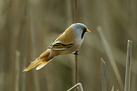 Bearded Reedling - Hungary CS4E4579 (19363158940).jpg