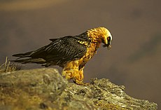 Bearded Vulture - Giant Castle 010001 (15280863060).jpg