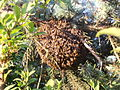 Bee swarm in my garden.jpg