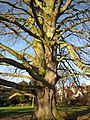 Beech tree beside Tewkesbury Abbey - geograph.org.uk - 1065728.jpg