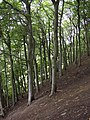 Beech trees, Slead Syke Wood, Brighouse - geograph.org.uk - 563148.jpg