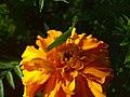 Belalang di atas bunga.jpg