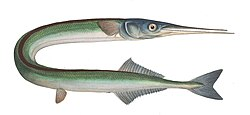 meaning of garfish