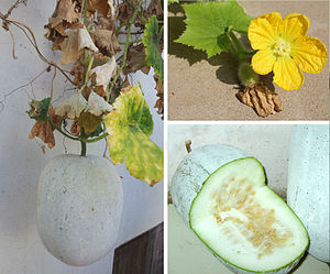 Wax Gourd - Wax Gourd plant, flower, immature and mature fruit.