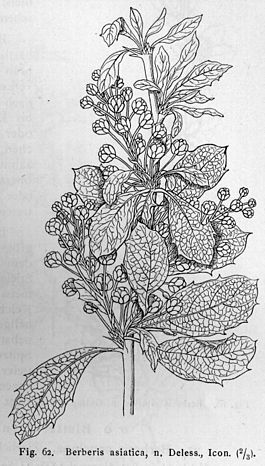 Berberis asiatica drawing.jpg