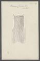 Berenix cuviera - - Print - Iconographia Zoologica - Special Collections University of Amsterdam - UBAINV0274 110 17 0015.tif