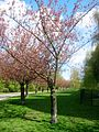 Berlin Alt-Treptow Sakura-Campaign Kirschbäume an der Lohmühlenbrücke.JPG