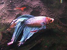 Kampffische wikipedia for Kampffische arten