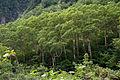 Betula ermanii 02.jpg
