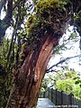 Big Mossy Tree at Mossy Forest, Cameron Highlands 02.jpg